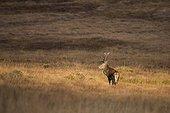 Scottish deer (Cervus elaphus scoticus) in the moor. Isle of Jura, Scotland