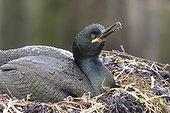 Cormoran huppé (Phalacrocorax aristotelis) sur son nid. Iles Farnes, Ecosse