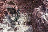 Cormoran huppé (Phalacrocorax aristotelis) se posant sur un rocher. Iles Farnes, Ecosse