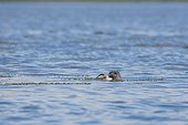 Grey seal (Halichoerus grypus) attacking a Common Eider (Somateria mollissima). Scotland