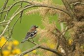 Chaffinch (Fringilla coelebs) on a branch. Scotland