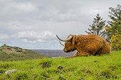 Highland cow. Scotland