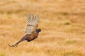 Ring-necked Pheasant (Phasianus colchicus) flying. Scotland