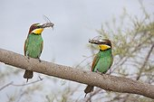 European Bee-eaters (Merops apiaster) couple with prey on a branch. Camargue, France