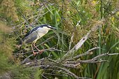 Night heron (Nycticorax nycticorax) on a branch. Camargue, France