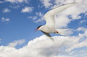 Arctic Tern (Sterna paradisaea) in flight. Scotland