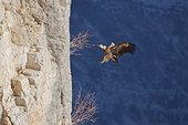 Griffon vulture (Gyps fulvus) in flight in front of a cliff