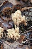 Beautiful clavaria (Clavaria aurea), edible mushroom, wood of Orvegal, Yvelines (78), Île-de-France, France