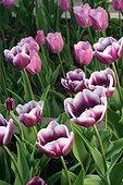 Tulipes Triomphe Arabian Mystery, Parc Floral de Paris, France