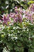 Solid-rooted fumewort (Corydalis solida), Jardin Botanique de Lyon, Lyon, Rhône (69), Rhônes-Alpes, France