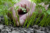 To thin the carrot seedlings, Patricia Auvray's kitchen garden, Somme (80), Picardy, France