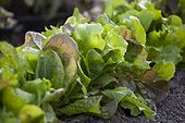 Mesclun row, Patricia Auvray's kitchen garden, Somme (80), Picardie, France