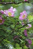 The Arboretum des Grandes Bruyères: close-up of a rosebush Rosa roxburghii flower), Arboretum des Grandes Bruyères, Ingrannes, Loiret (45), Centre, France