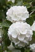The Arboretum des Grandes Bruyères: Japanese snowball (Viburnum plicatum), The Arboretum des Grandes Bruyères, Ingrannes, Loiret (45), Centre, France