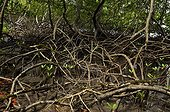 Red mangrove, Forêt de Vatable, Martinique, France