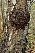 Burr (or Burl) on a silver birch, Chaumontel, Forêt de Coye, Val-d'Oise, France