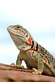 Bailey's Collared Lizard (Crotaphytus collaris baileyi) Red fertilized female N. Arizona