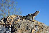 Collared lizard (Crotaphytus collaris) Fertilized female. Arizona