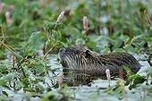 Coypu (Myocastor coypus) in water, Ille et Vilaine, France
