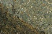 Chamois (Rupicapra rupricapra), Vosges France