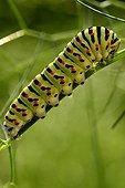 Swallowtail caterpillar (Papilio machaon)