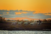 Camargue horses and gardian in the Vaccarès pond, Camargue France