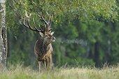 Red deer, Cervus elaphus, Autumn, Germany, Europe