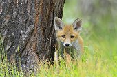 Young Red Fox, Vulpes vulpes, Hesse, Germany, Europe
