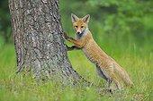 Jeune Renard roux (Vulpes vulpes), Hesse, Allemagne, Europe