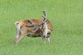 Red deer, Bavaria, Germany, Europe