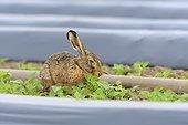 European brown hare (Lepus europaeus) near Irrigation Plant, Hesse, Germany, Europe