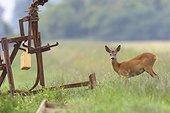 Western Roe Deer (Capreolus capreolus) near Irrigation Plant, Roebuck, Hesse, Germany, Europe
