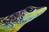 Portrait of a stunning male Barbados Anole (Anolis extremus)., Barbados island