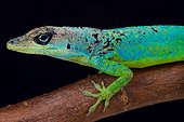 The male Barbados Anole (Anolis extremus) is a pallet of colors., Barbados island
