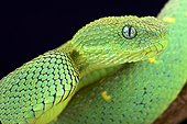 West African bush viper (Atheris chlorechis), Cameroon