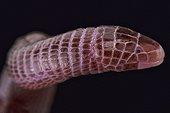 European worm lizard (Blanus cinereus), Spain