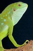 Lau banded iguana (Brachylophus fasciatus), Fiji