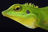 Green crested lizard (Bronchocela cristatella), Malaysia