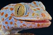 Tokeh (Gekko gecko), Indonesia