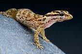 Aruba day gecko (Gonatodes antillensis) female, Aruba