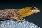 Aruba day gecko (Gonatodes antillensis) male, Aruba