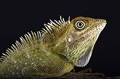 Bell's angle head lizard (Gonocephalus bellii), Malaysia