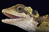 Great angle head lizard (Gonocephalus grandis), Malaysia