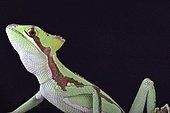 Serrated casquehead iguana (Laemanctus serratus), Mexico