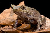 Perak horned toad (Megophrys aceras), Malaysia