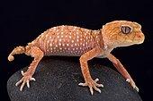 Rough knob-tailed gecko (Nephrurus amyae), Australia