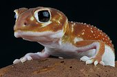 Smooth knob-tailed gecko (Nephrurus levis), Australia