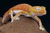 Pilbara smooth knob-tailed gecko (Nephrurus levis pilbarensis) Albino, Australia