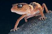Banded rough knob-tailed gecko (Nephrurus wheeleri cinctus), Australia