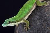 Mayotte day gecko (Phelsuma nigristriata), Mayotte, Comoros